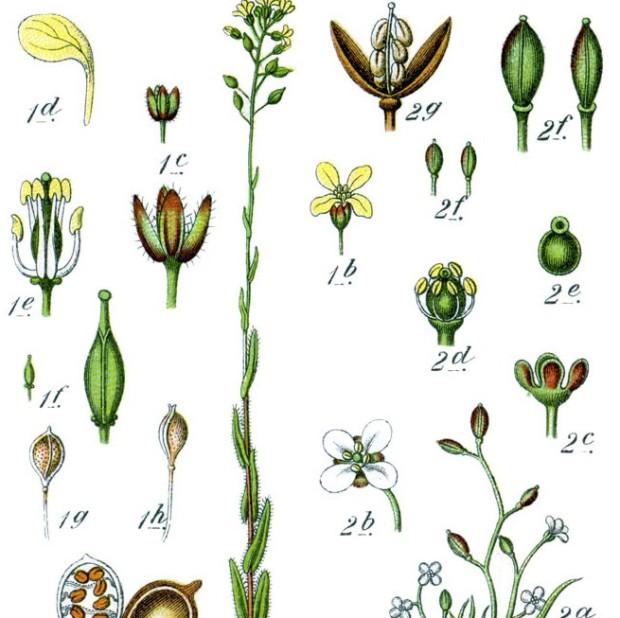 Brassicaceae_spp_Sturm30
