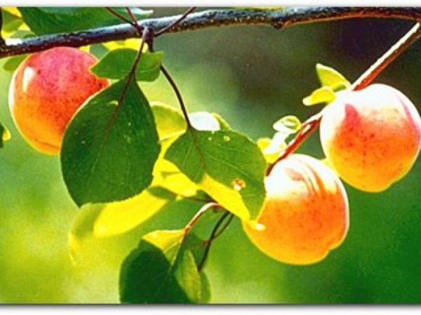 abricots_big